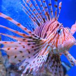 large tropical fish volitans lionfish