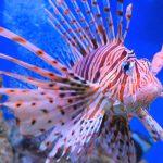 large tropical fish volitans lionfish