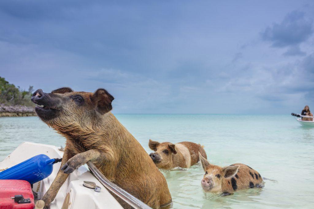 Swimming pigs - The Exumas